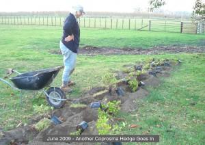 21.PlantingCoprosmaHedge